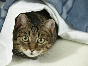 domestic cat history