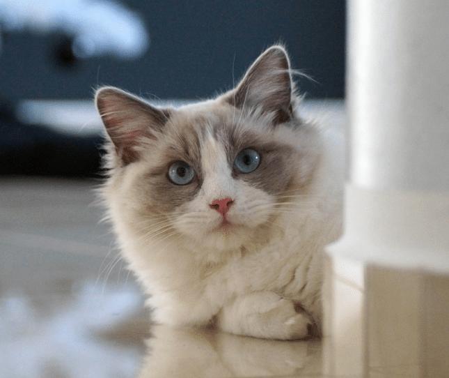 Cherry Hill Cat Veterinarian Ragdoll Cat