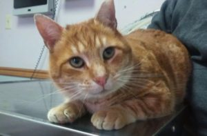 orange tabby at Cat Clinic at Cherry Hill