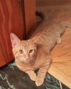 Cat Clinic at Cherry Hill orange tabby