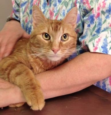 orange cat Cat Clinic at Cherry Hill